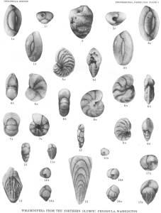 Foraminíferas vistas no microscópio. Fonte: http://www.cr.nps.gov/history/online_books/geology/publications/pp/374-G/plate5.htm
