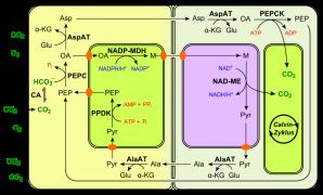 Fotossíntese C4, tipo PEPCK. Fonte: