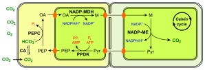 Fotossíntese C4, tipo NADP-ME. Fonte: http://upload.wikimedia.org/wikipedia/commons/thumb/2/26/C4_photosynthesis_NADP-ME_type_en.svg/400px-C4_photosynthesis_NADP-ME_type_en.svg.png